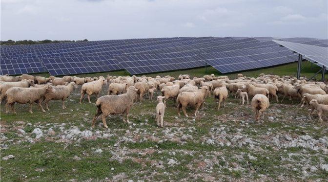 Iberdrola busca soluciones para combinar agricultura y ganadería en las plantas fotovoltaicas
